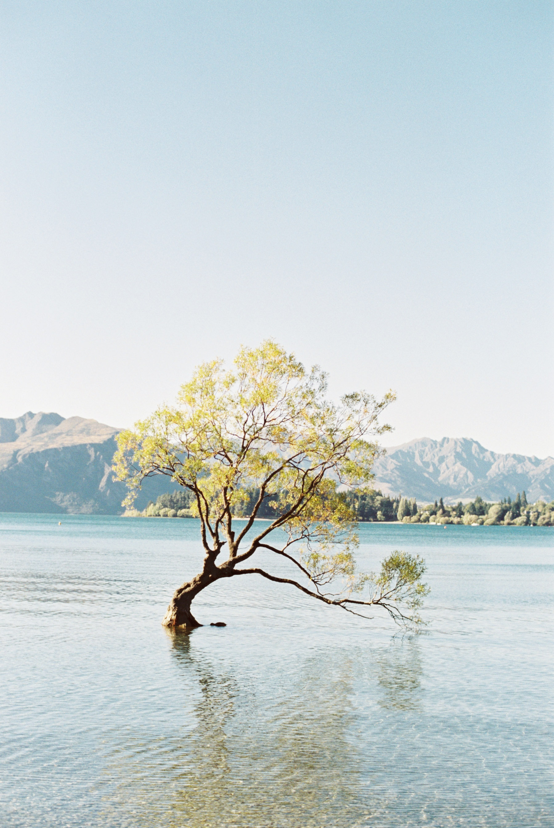 wanaka lake tree